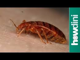 How To Check For Bed Bugs At Home How To Find Bed Bugs How To Know If You Have Bed Bugs Youtube