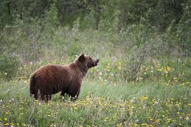 Bears Montana Hunting And Fishing - b c ends grizzly bear hunt calls it socially unacceptable mtpr