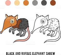 wildlife coloring book coloring book black and rufous elephant shrew stock vector art