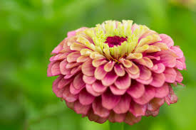 zinnia flower zinnia flower meaning flower meaning