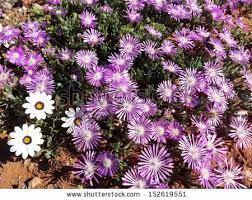 South African Wild Flowers - jjhaasbroek u0027s portfolio on shutterstock