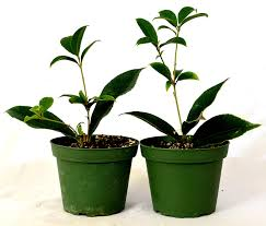 Fragrant Plants For Pots Amazon Com 9greenbox Sweet Olive Tree Osmanthus 2 Pack Of 4