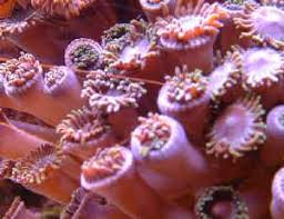 led lighting for zoanthids zoanthidbehfaqs