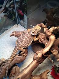 Bearded Dragon Behavior Before Shedding by Tail Shed Or Tail Rot Lots Of Pictures U2022 Bearded Dragon Org
