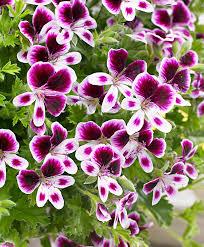Geranium by Buy A Container Plant Now Geranium U0027mosquitaway Eva U0027 Bakker Com