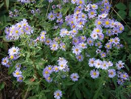 plants native to california plant of the month california aster u2013 valley water news