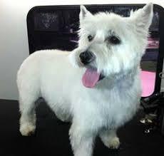 images of westie hair cuts westie haircuts gallery westies pinterest westies