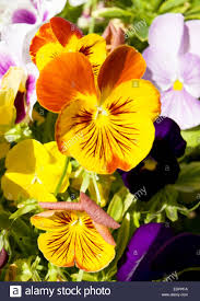 two flowers pansies viola tricolor of yellow and orange colours