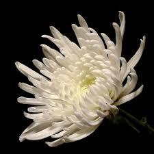 Discount Flowers Bulk Discount Flowers White Spider Chrysanthemum
