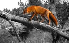 sleeping red fox wallpapers sweden wallpaper 6835047