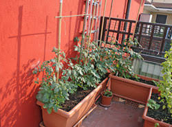gem se pflanzen balkon gemüse auf dem balkon pflanzen 9 gemüsesorten für anfänger