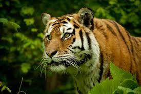 6 big reasons why big cats don u0027t belong in circuses peta