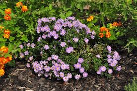 Late Blooming Perennials Flowering Plants For Texas And Natives A Round Rock Garden