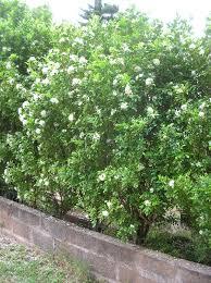 murraya paniculata large orange jasmine murraya paniculata u2014 wikipédia