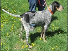 bluetick coonhound puppies for sale bluetick coonhound dog breed top 10 most amazing facts about