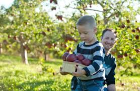 6 best orchards for apple picking near nyc ny daily news