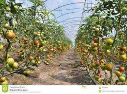 greenhouses for growing tomatoes stock photo image 67554693