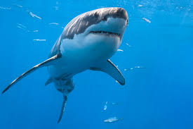 great white shark photography of george t probst