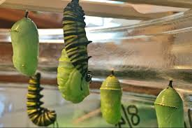 this family turns egg to caterpillar to monarch butterfly process