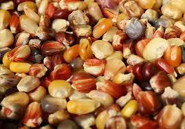 ornamental indian corn s heirloom seeds