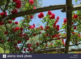 climbing roses with full red blooms over a wooden trellis in a