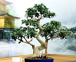 Taiwan Home Decor Taiwan Fig Ficus Retusa Bonsai Ficus With Guidelines To Take