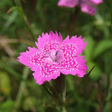 pink flower 151 types of flowers images and growing tips care guide