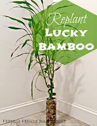 Bamboo Home Decor by Happy House And Home Replant Lucky Bamboo
