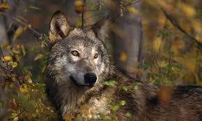 what is a lone wolf howstuffworks