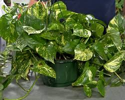 Plants That Need Low Light by Low Light Plants Great 24 Low Light Plants Indoor Plants U0026 House
