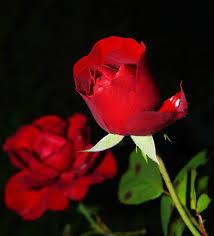 roses flowers free images blossom flower petal flora