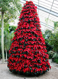poinsettia tree christmas trees and poinsettias what to look for and how to keep