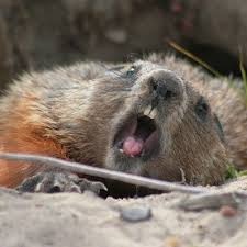 groundhog removal kansas mo