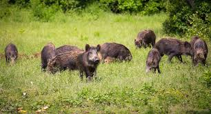 Hawaii wild animals images Wild pigs as pets jpg