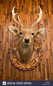 wooden stag wall stuffed and mounted trophy deer stag on wooden wall hokkaido
