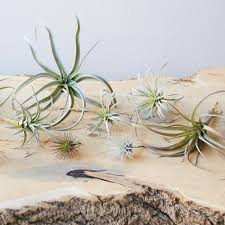 Faux by Faux Air Plants Artificial Air Plants For Sale Chive Chive