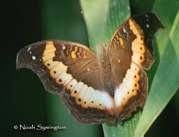 how did butterflies get their name the children s