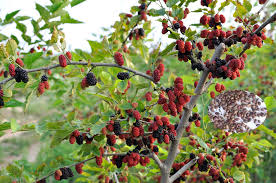 fruit tree seeds mulberry tree seeds for growing buy mulberry