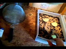 how to raise mealworms complete guide youtube