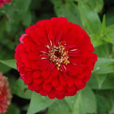 zinnia flower zinnia benary s harris seeds