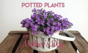 mothers day plants send potted plants for s dayflower press