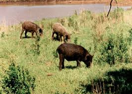 Oklahoma wild animals images Feral hogs in oklahoma oklahoma department of wildlife conservation jpg
