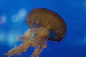 free images jellyfish blue invertebrate cnidaria macro