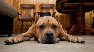 Wallpaper Dogs Hd Background Sad Lazy Dog Muzzle Lie Down Wallpaper Wallpapersbyte