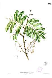 acacia concinna wikipedia