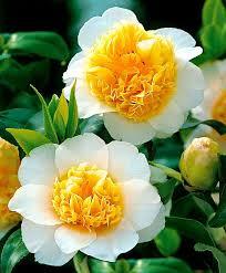 111 best petunias u0026 camellias images on pinterest flowers garden