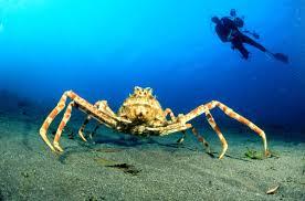 world u0027s biggest crab japanese spider crab youtube