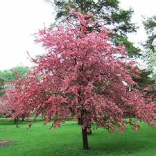 think best crabapples for your yard