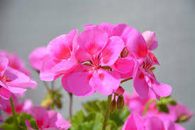 geranien balkon kostenloses foto blumen rosa geranien balkon kostenloses bild