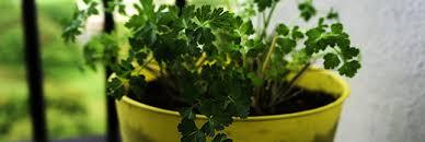 herbe cuisine ces plantes qui nous soignent le persil